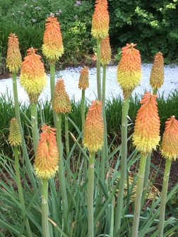 Red hot pokers.